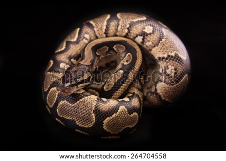Ball python or Royal python on black background, Yellow Belly morph or mutation - stock photo