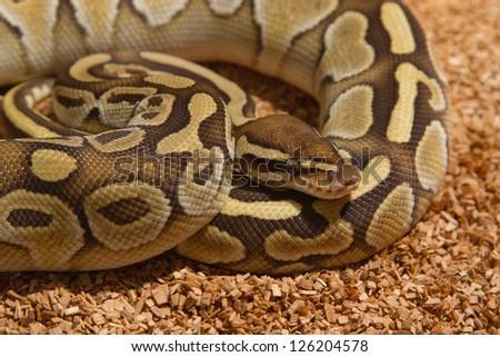 Ball Python (Python regius) - stock photo