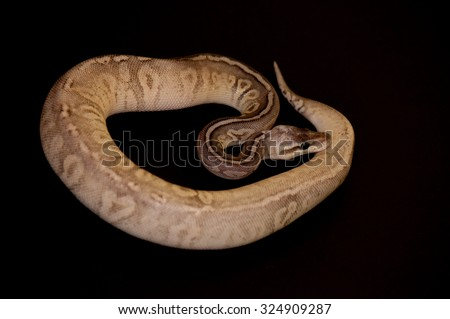Ball Python - Python regius, isolated on a black background.