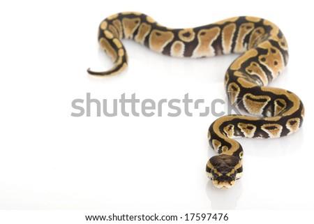 Ball Python (Python regius) on white background. - stock photo