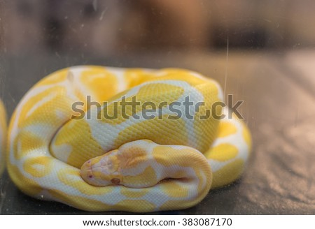 Ball Python -Python regius, snake coiled in a spiral - stock photo