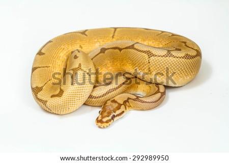 ball python snake on white background. - stock photo