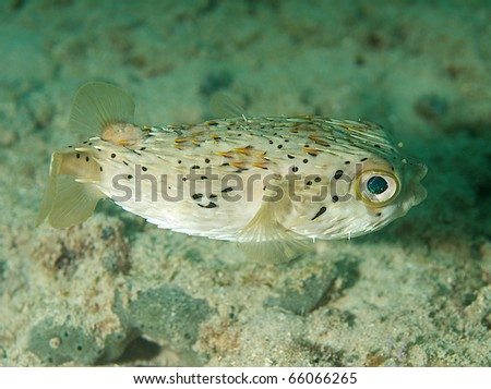 Ballonfish-Diodon holocanthus, in shallow water, picture taken in south east Florida. - stock photo