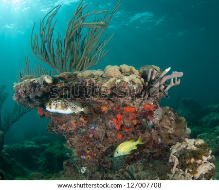 Balloon Fish and French Grunt on a reef.