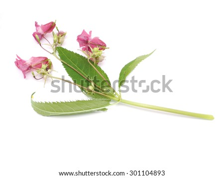 balsam flowers on a white background
