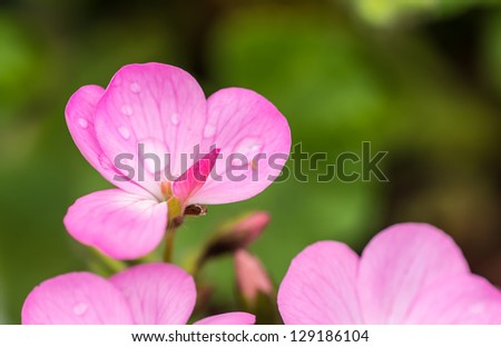Balsamina impatiens - stock photo
