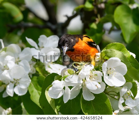 Baltimore Oriole Feasting on Crab Apple Blossoms in Spring
