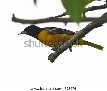 baltimore oriole on branch - stock photo