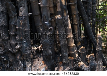 bamboo after a forest fire - stock photo