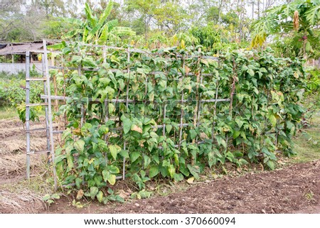 Bamboo arbor with creeper lentils plant in field,Bamboo pergola with creeper lentils plant - stock photo