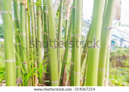 Bamboo forest. - stock photo