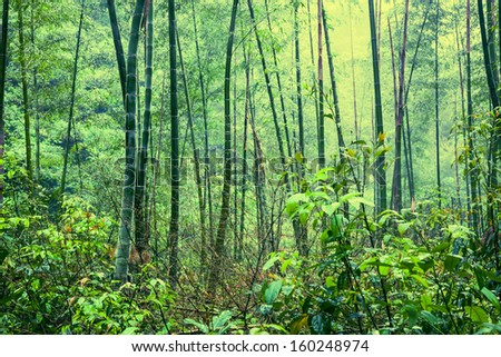 bamboo forest after rain