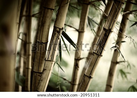 Bamboo forest background. Shallow DOF. - stock photo