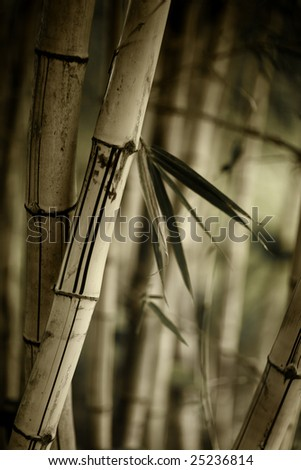 Bamboo forest background. Shallow DOF. - stock photo
