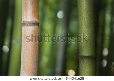 Bamboo forest detail of multicolored stems, subfamily, Bambusoideae, of flowering perennial evergreen plants in the grass family Poaceae.