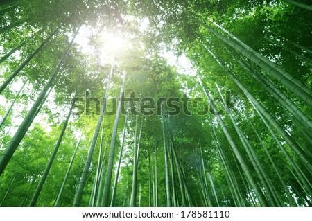 Bamboo forest flourish green in sunshine, morning foliage background. - stock photo