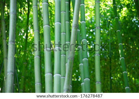 bamboo forest from Huntington garden