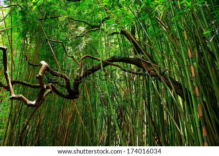 Bamboo forest in East Maui island, Hawaii - stock photo