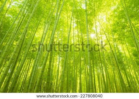 Bamboo Forest in Japan. Bamboo Groove in Arashiyama, Kyoto. - stock photo