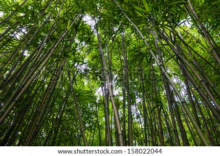 Bamboo Forest in Maui Hawaii