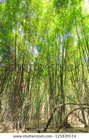 Bamboo Forest in Thailand - stock photo