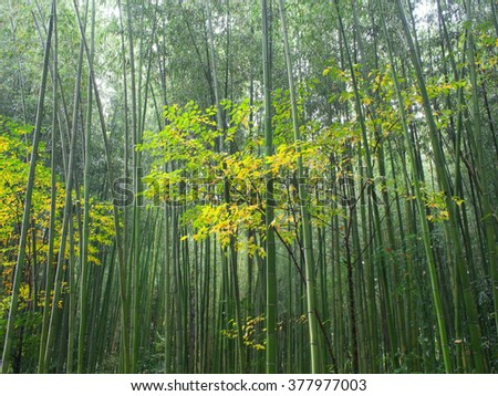 bamboo forest nature scenic