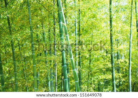 Bamboo forest of young bamboos.  - stock photo