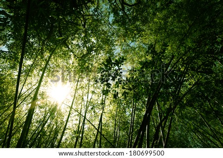 Bamboo Forest with Sunlight - stock photo