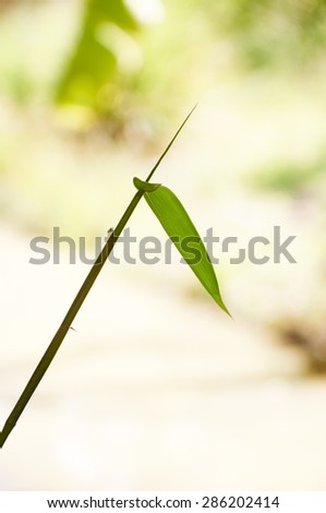Bamboo grass against green bokeh. soft focus and blur - stock photo