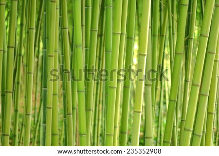 Bamboo grass stalk plants stems growing in dense forest like grove as a relaxing and peaceful green background - stock photo