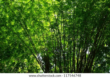 Bamboo green forest with morning sunlight.