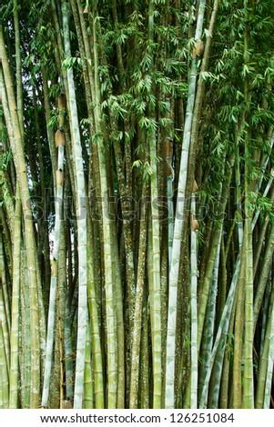 Bamboo grove at Bhu Bhing Palace - stock photo