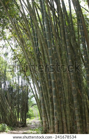 Bamboo in jungle Flores Indonesia
