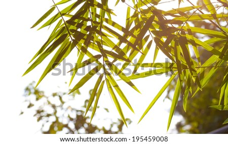 bamboo leaves with morning sunlight. - stock photo