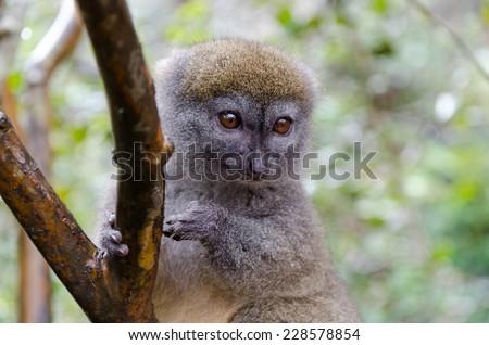 Bamboo lemurs in Andasibe Park Madagascar - stock photo