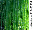 Bamboo like looking, rough horse tail also known as scouring rush , or  snake grass (Equisetum hyemale) in spring. - stock photo