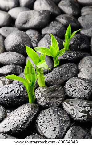 bamboo row  and black stones in the dew - stock photo