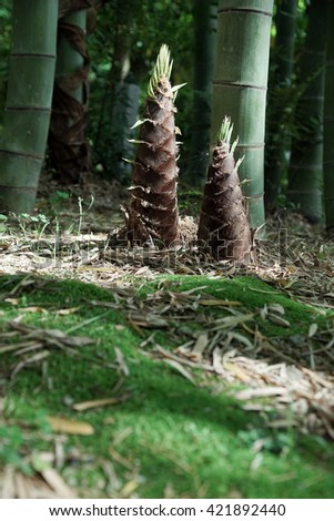 bamboo shoot in the forest - stock photo