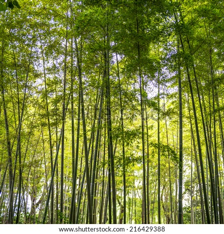 Bamboo sprouts forest in Asia - stock photo