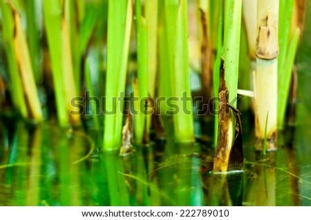 Bamboo stalks on water background. Closeup of bamboo stalks. - stock photo