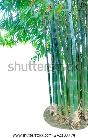 bamboo tree, tropical tree in the northeast of Thailand isolated on white background with copy space. This has clipping path. - stock photo