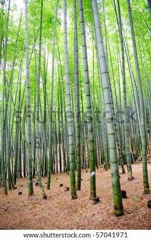 bamboo trees - stock photo