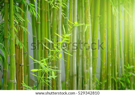 bamboo with sunlight effect on sunrise time background.