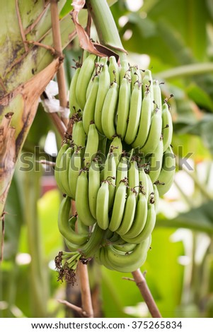 Banana and Unripe Cultivar Bananas on The Banana Tree in The Garden