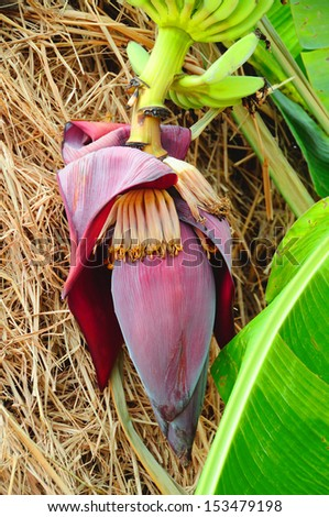 banana blossom in nature by normally