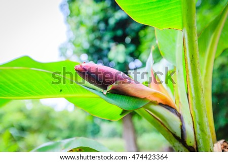 banana blossom on the tree in the garden.