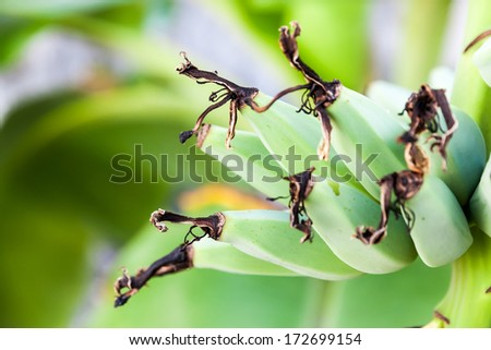 Banana bunch on tree in the garden and blur background - stock photo