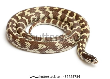 Banana eastern kingsnake or common kingsnake, Lampropeltis getula californiae, in front of white background - stock photo