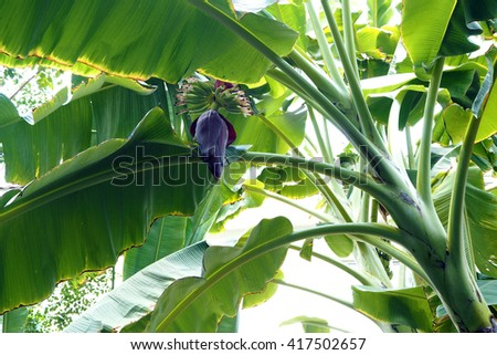 Banana flower in Garden