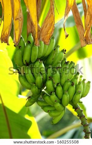 Banana fruit - stock photo